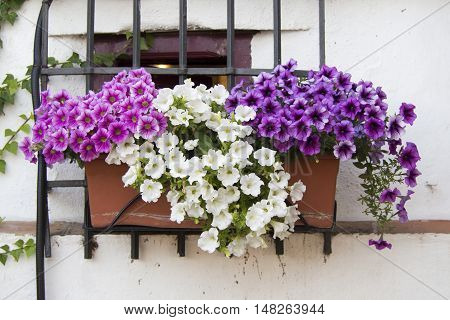 Rustic window with a pot of purple and white petunias