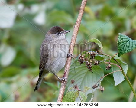 Eurasian blackcap (Sylvia atricapilla) sitting on a branch with vegetation in the background