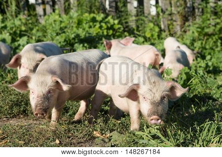 Sweet filthy Piglet on a green meadow