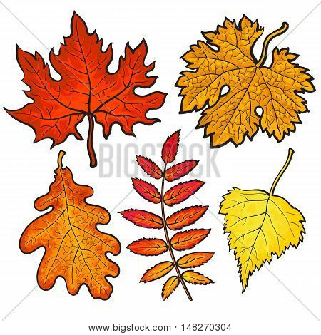 Set of autumn leaves, sketch style illustration isolated on white background. Red, yellow and orange maple, aspen, oak and rowan leaves in the fall season.