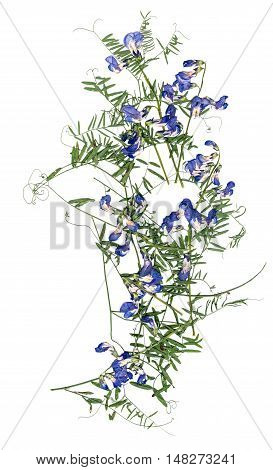 application a bouquet of dried pressing bright flowers and small delicate leaves of sweet peas