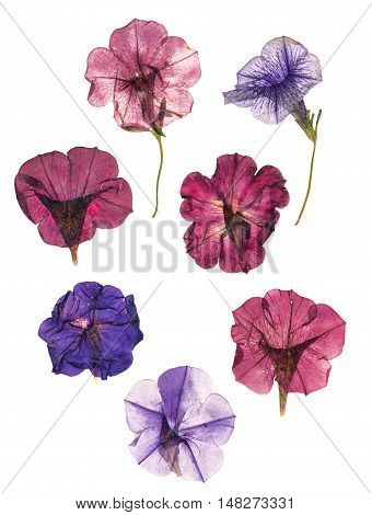 dried pressed colorful petunias isolated on white