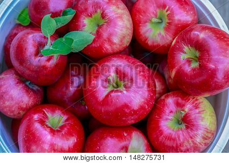 A basket of freshly picked Honey crisp apples.