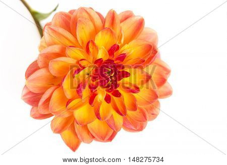 An orange dahlia on a white background.