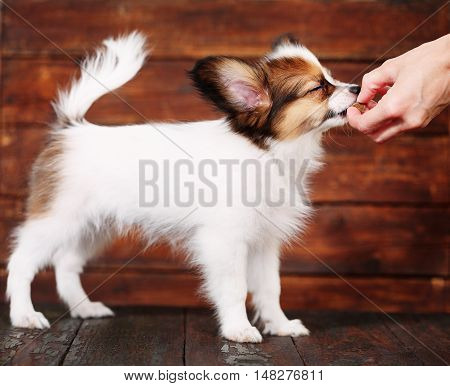 little puppy breeds papillon on a brown background