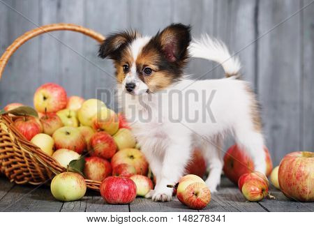 puppy breed Papillon near the basket with apples