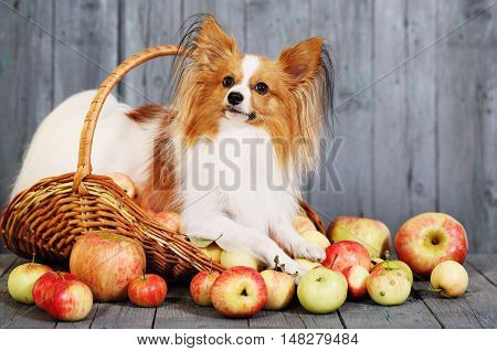 doggie breed Papillon. Dog in a basket with apples