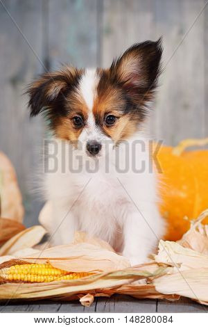 Portraits of puppy papillon breed with pumpkins. Halloween