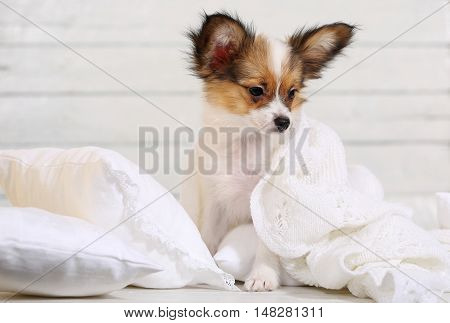 cute puppy Papillon breed lying on white pillows