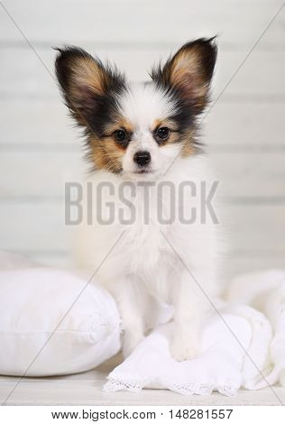 cute puppy Papillon breed standing on white pillows