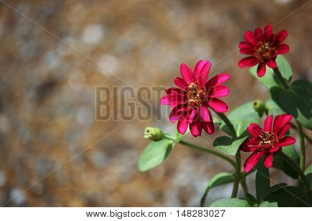Clouse up Zinnia flower or Zinnia violacea Cav.