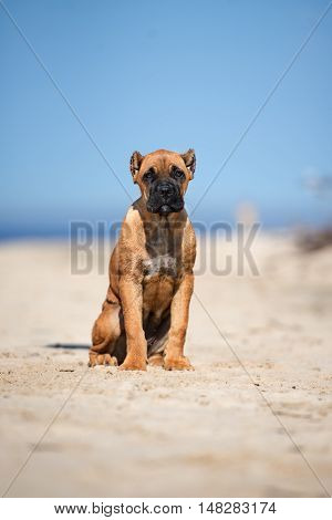red happy cane corso puppy on a beach
