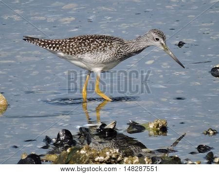 A Greater yellowlegs, Tringa melanoleuca searches along the shore.