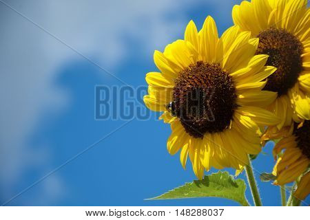 Beautiful sunflowers against a blue sky with bumble bee