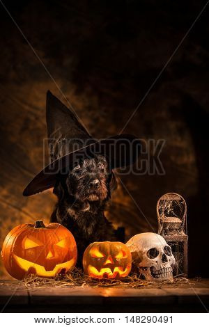 Halloween dog with black wizard hat and Pumpkins, still-life background.