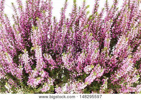 Flowers of pink Calluna vulgaris on white background