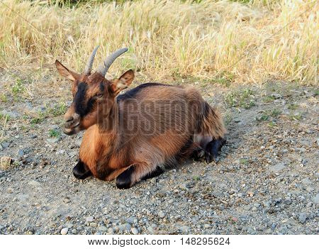 Beautiful goat  with the cornea lies in the nature