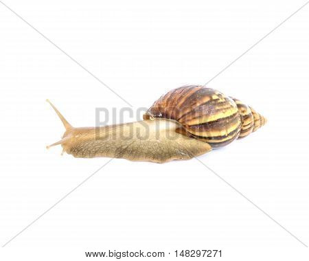 Closeup snail moving on floor isolated on white background with clipping path