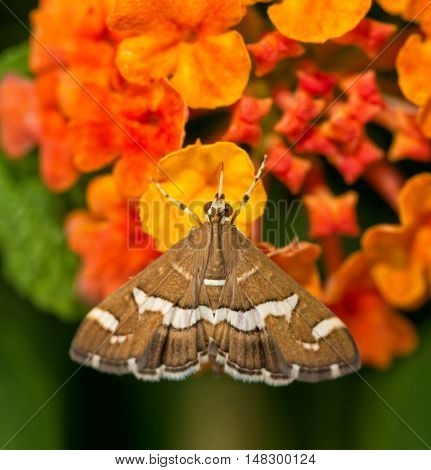 Dorsal view of a beautiful brown and white striped Hawaiian Beet Webworm moth feeding on yellow Lantana flower