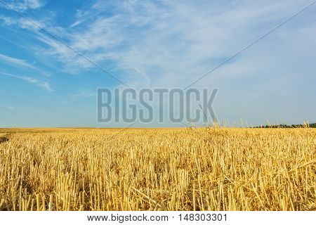 Autumn stubble field after wheat harvesting on the background of blue sky with clouds close up