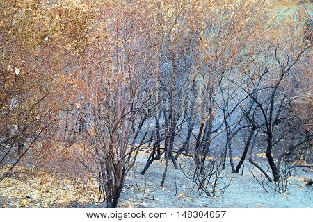 Charcoaled landscape with burnt trees and dried leaves taken after a wildfire