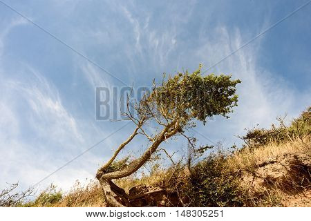 Windblown Tree And Beach Erosion