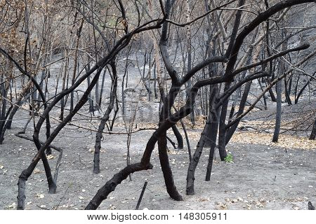 Charcoaled landscape including a burnt forest taken after a wildfire