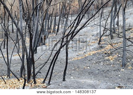 Charcoaled landscape including burned trees caused by a wildfire