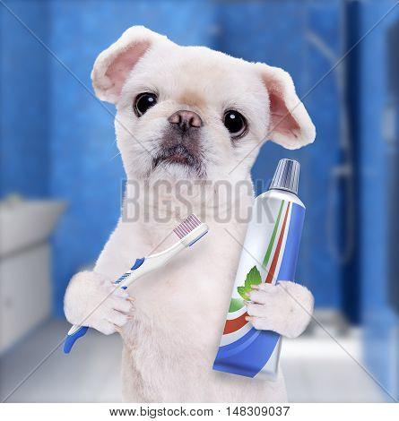Brushing teeth dog on the background of the bathroom.