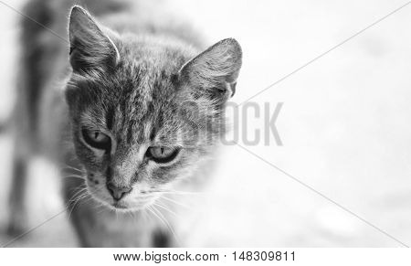Black and white photography of beautifull cat