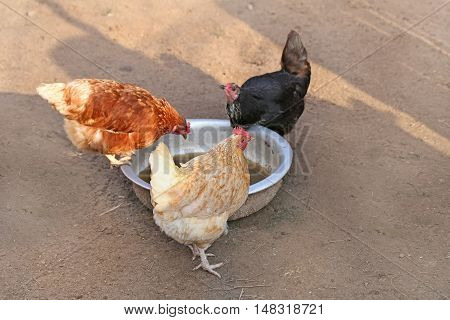 Three chickens : red, black and brown. hen on farm. Homemade poultry. Rustic look
