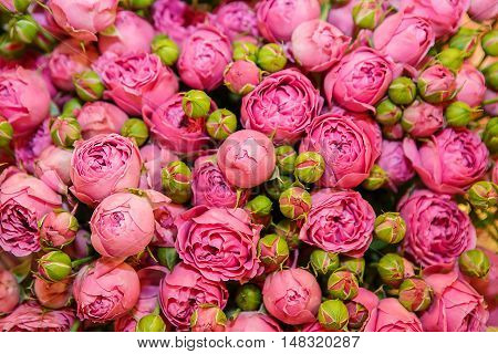 Background of pink roses. Delicate rose flowers in large quantity. The texture of roses. Beautiful fragrant flowers for loved ones.