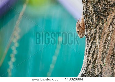 Squirrel in the rain in autumn sitting on tree trunk concept autumn depression free space for your text