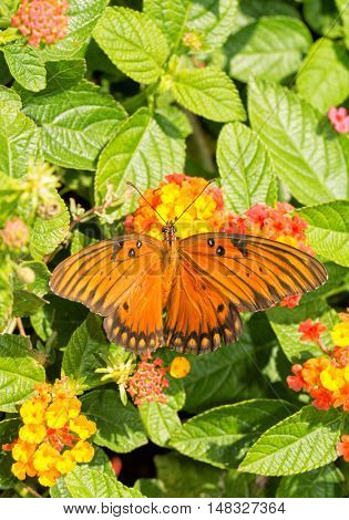 Dorsal view of a Gulf Fritillary butterfly feeding on a colorful Lantana flower, with wings spread our
