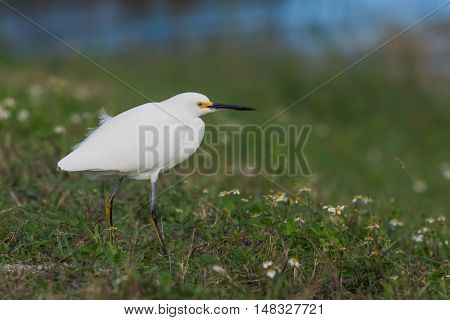 Egret crouched down in green grassy area.