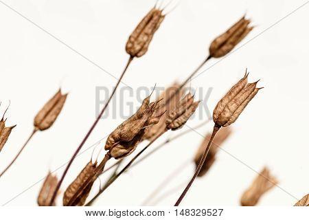 Closeup Of Delphinium Seed Pods