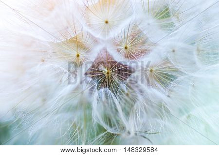 Dandelion macro. The middle of a dandelion. Focus in the center.
