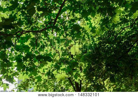 Green Tree Leaves And Morning Summer Sun