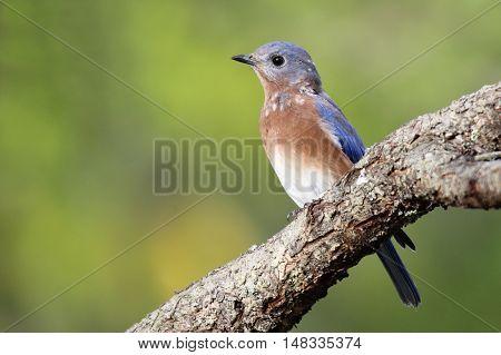 An eastern bluebird (Sialia sialis) perching on a branch in Fall.in