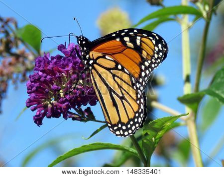 Beautiful Monarch Butterfly on a flower in High Park of Toronto Canada September 20 2016
