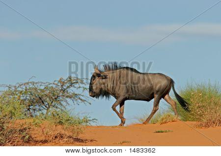 Blue Wildebeest On Dune