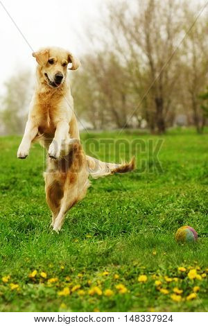 funny Golden Retriever dog playing and jumping in the summer on the nature stretched vertically