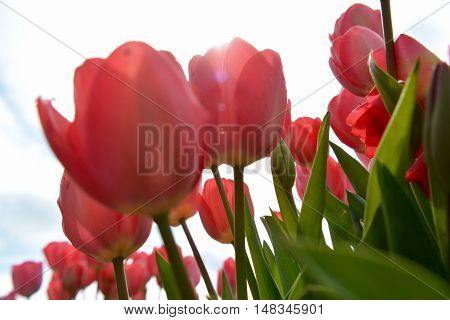 Sun rays coming through pink tulips in field