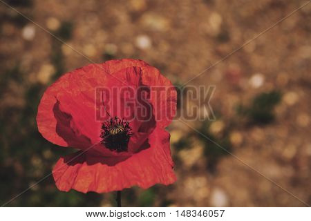Bright Red Poppy With A Blurred Background Vintage Retro Filter.