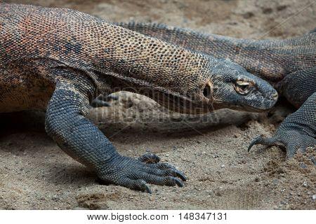 Komodo dragon (Varanus komodoensis). Wildlife animal.