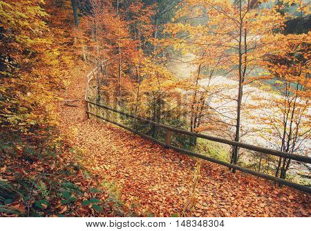 Footpath covered with fallen autumn leaves is lined with trees displaying colorful fall foliage at Carpathian Mountains near Lake Synevir