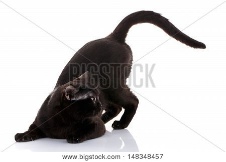 black cat with bright yellow eyes and an open mouth on a white background sat in the front paws. preparing to attack. predator style. looks toward