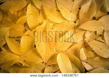 yellow colorful autumn leaves