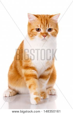 red-haired cat Scottish straight sits on a white background
