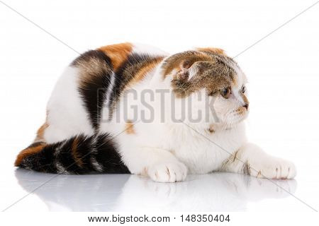 white, red-haired and brown cat lying sideways on a white background, looks toward